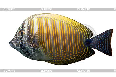 Тропическая коралловая рыба  | Фото большого размера |ID 3015296
