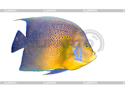 Tropical coral fish angelfish isolated | High resolution stock photo |ID 3015297