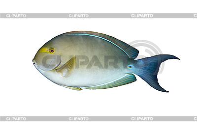 Angelfish in aquarium isolated   High resolution stock photo  ID 3015298