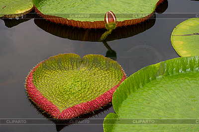 Amazon lily floating on water | High resolution stock photo |ID 3015303