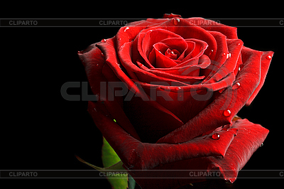 Red rose with drops of water on black   High resolution stock photo  ID 3015468