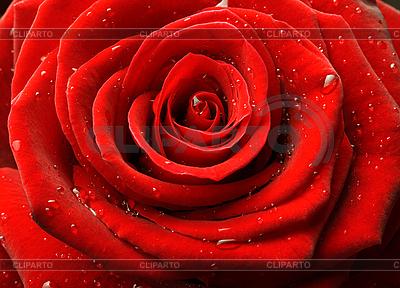 Rote Rose, Nahaufnahme | Foto mit hoher Auflösung |ID 3015471