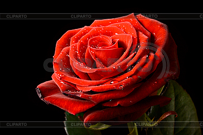 Red rose with water drops isolated on black | High resolution stock photo |ID 3015474