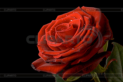 Red rose with drops of water on black | High resolution stock photo |ID 3015476