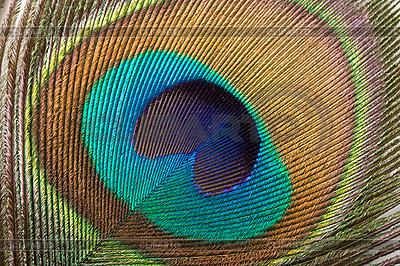 Pióropusz Peacock | Foto stockowe wysokiej rozdzielczości |ID 3015597