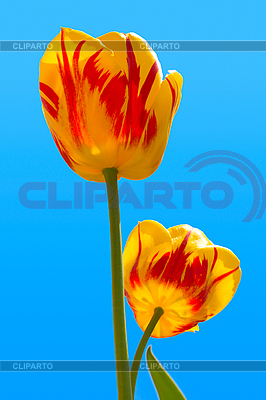 Two tulips in sky   High resolution stock photo  ID 3015614
