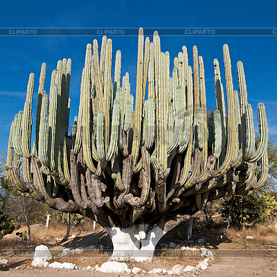 Giant cactus in Mexico | High resolution stock photo |ID 3015702