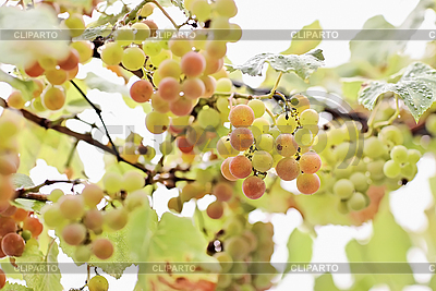 Bunches of white grape with water drops | High resolution stock photo |ID 3016906