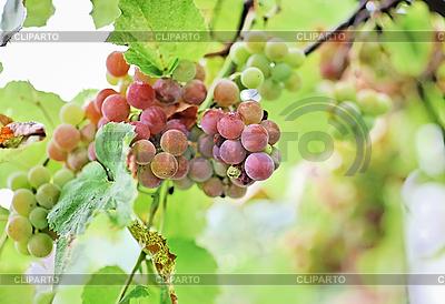 Грозди черного винограда с каплями воды | Фото большого размера |ID 3016908