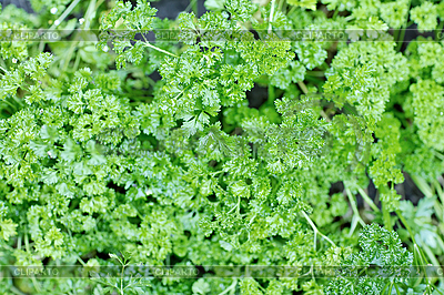 Fresh green parsley with water drops | High resolution stock photo |ID 3016910