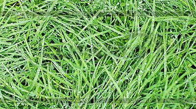 Nowa zielona trawa owsa kroplami wody | Foto stockowe wysokiej rozdzielczości |ID 3016911