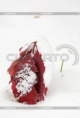 Czerwone liście dębu pokryte pierwszym śniegiem | Foto stockowe wysokiej rozdzielczości |ID 3016915