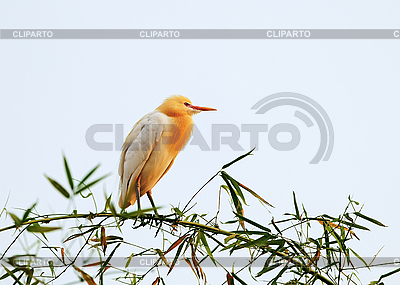 White bubulcus ibis sitting on bamboo tree   High resolution stock photo  ID 3017054