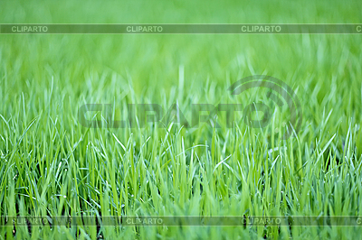 New green oats grass with water drops | High resolution stock photo |ID 3017228