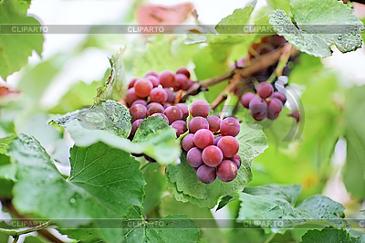Bunches of black grape with water drops | High resolution stock photo |ID 3017230