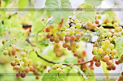Bunches of white grape with water drops | High resolution stock photo |ID 3017233