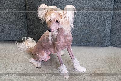 中国冠毛犬 | 高分辨率照片 |ID 3019638