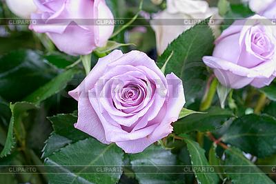 핑크 장미 | 높은 해상도 사진 |ID 3028199