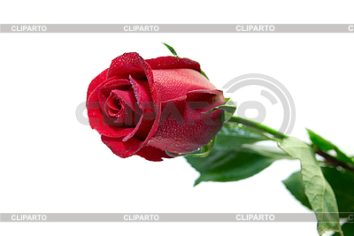Rote Rose   Foto mit hoher Auflösung  ID 3029417