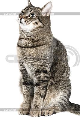 Gato gris | Foto de alta resolución |ID 3030106