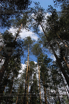 소나무 숲 | 높은 해상도 사진 |ID 3032029