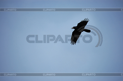 Черный ворон | Фото большого размера |ID 3032084