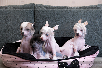 Chinese crested puppy dogs | High resolution stock photo |ID 3035072