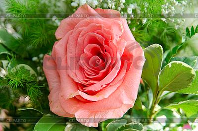 Rose flower | High resolution stock photo |ID 3036504