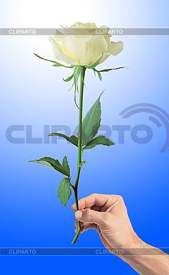 Weiße Rose in Hand des Mannes | Foto mit hoher Auflösung |ID 3019805