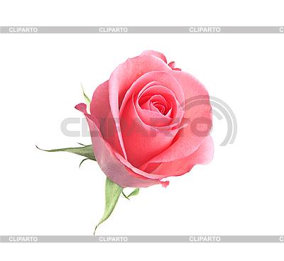 Schöne rosa Rose auf Weiß | Foto mit hoher Auflösung |ID 3019816