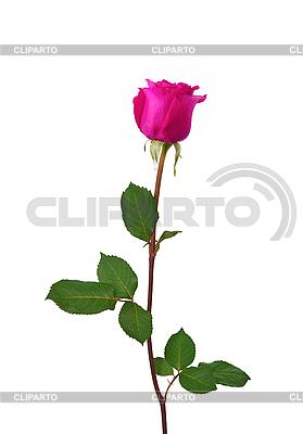 Piękna różowa róża | Foto stockowe wysokiej rozdzielczości |ID 3110527