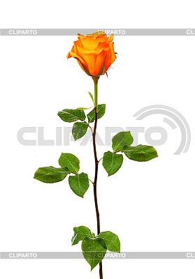 Gelbe Rose | Foto mit hoher Auflösung |ID 3111437
