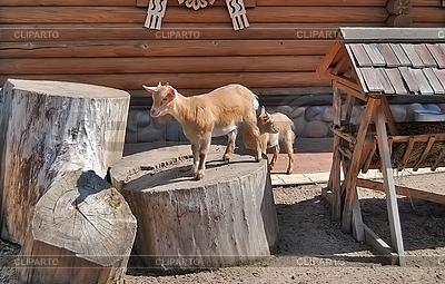 Goatlings | Foto stockowe wysokiej rozdzielczości |ID 3025033
