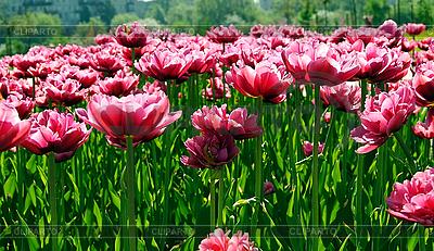 Blühende Tulpen | Foto mit hoher Auflösung |ID 3025914