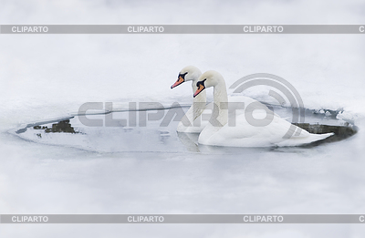 Couple of swans in ice-hole | High resolution stock photo |ID 3284318