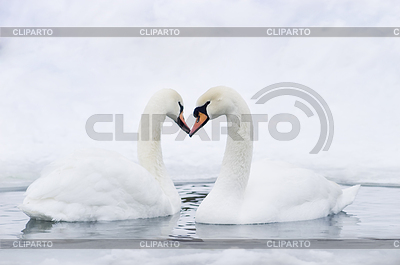 Couple of swans forming heart | High resolution stock photo |ID 3284327