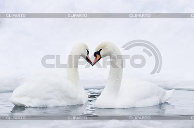 Para łabędzi tworzących serce | Foto stockowe wysokiej rozdzielczości |ID 3284327