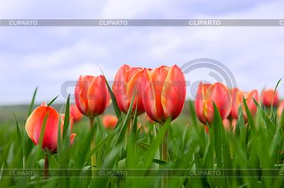 Beautiful tulips growing in field   High resolution stock photo  ID 3284354