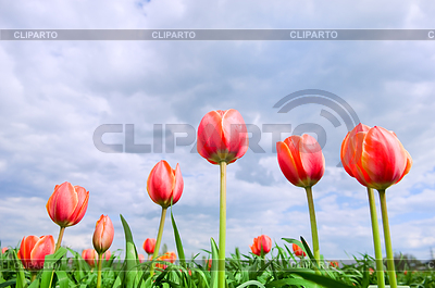 Romantic tulips growing in field   High resolution stock photo  ID 3284356