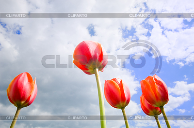 Romantic tulips growing up in sky   High resolution stock photo  ID 3284357