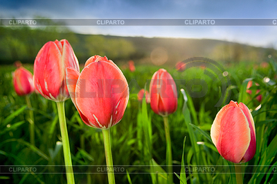 Close-up of beautiful tulips in field | High resolution stock photo |ID 3284388