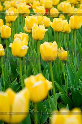 Beautiful yellow tulips   High resolution stock photo  ID 3284665
