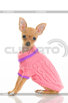 Chihuahua dog in pink sweater | High resolution stock photo |ID 3295627