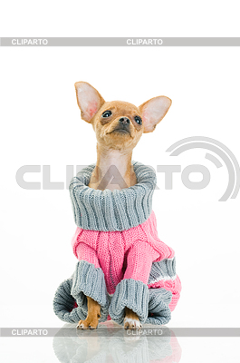 Chihuahua dog in sweater | High resolution stock photo |ID 3295628