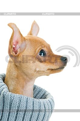 Chihuahua dog in sweater | High resolution stock photo |ID 3295630