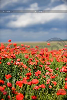 Red poppy field | High resolution stock photo |ID 3320996