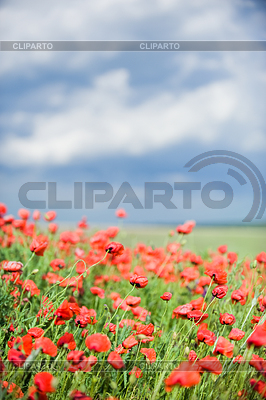 Beautiful red poppy field | High resolution stock photo |ID 3321018