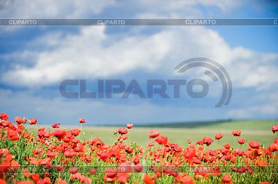 美丽的红罂粟领域 | 高分辨率照片 |ID 3321019