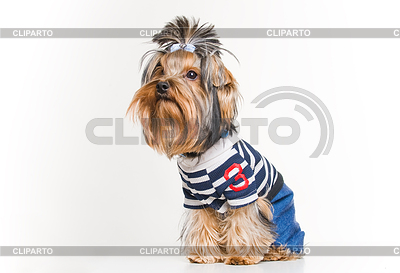 Funny Yorkshire terrier in pullover | High resolution stock photo |ID 3324968