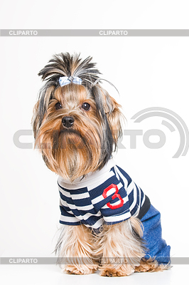 Cute Yorkshire terrier in pullover | High resolution stock photo |ID 3324969